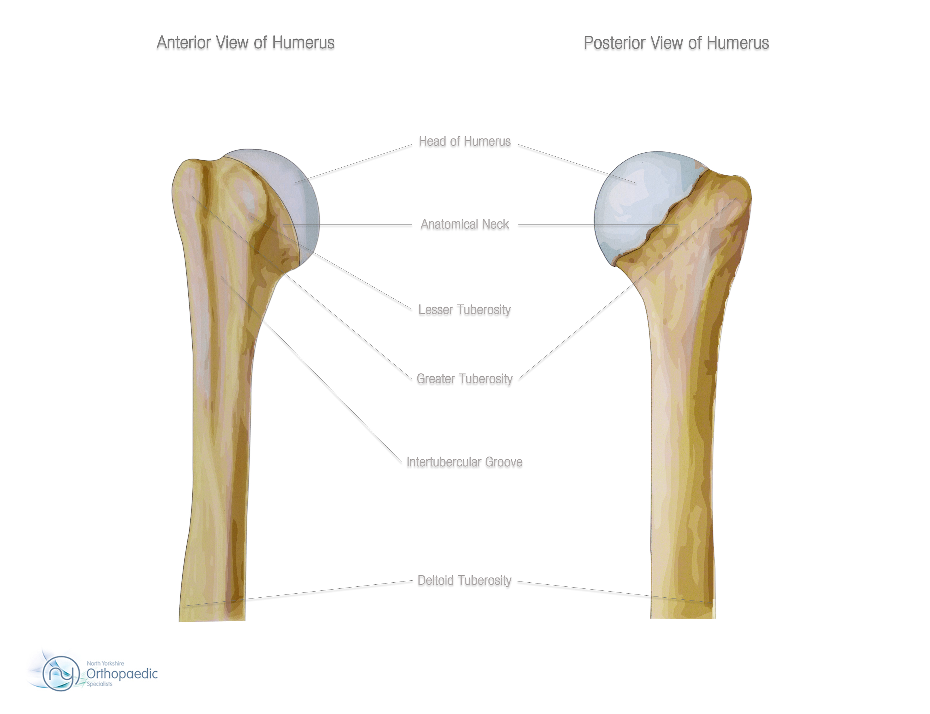 Bones & Joints of the Shoulder   Orthopaedic - Simon Boyle  Greater Tubercle
