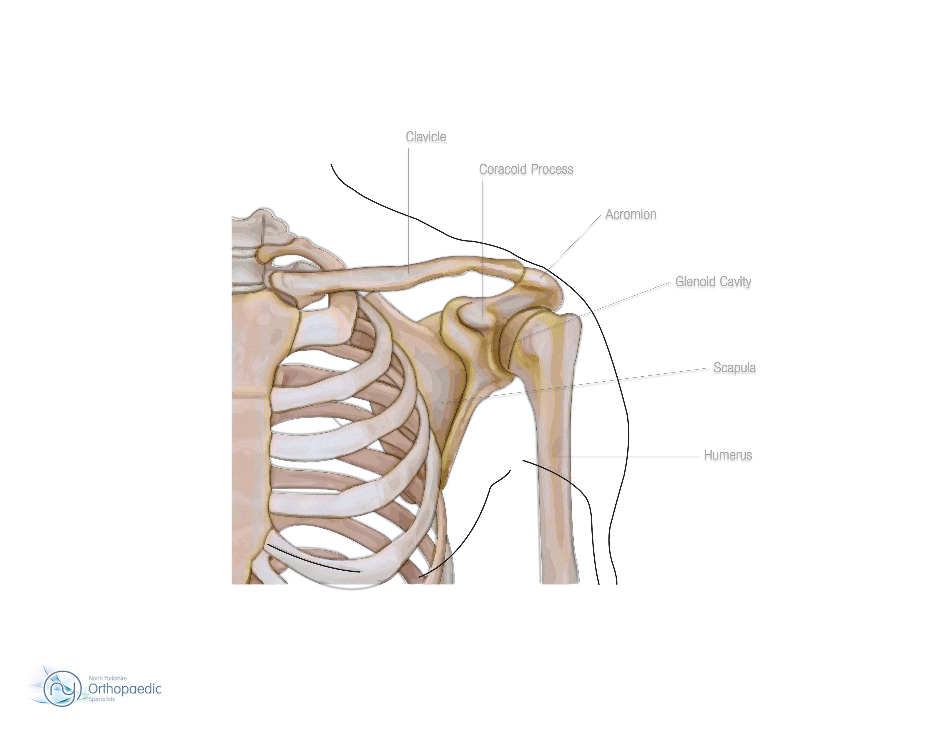 bones & joints of the shoulder | orthopaedic - simon boyle, Cephalic Vein